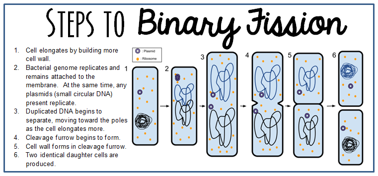 BinaryFission.png