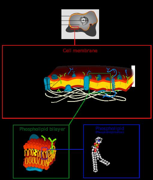 Cell_membrane_detailed_diagram_4