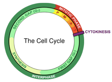 CellCycle.png