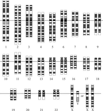 DNAKaryotypeBothSexes