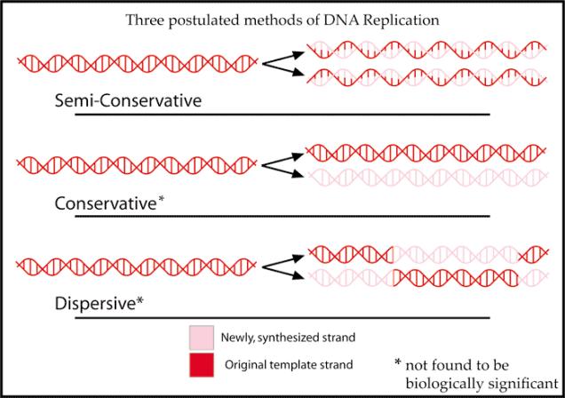 DNAReplicationModels.png