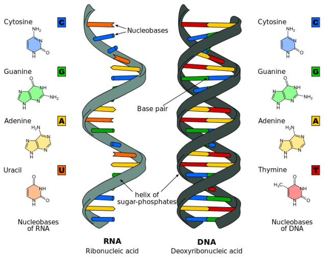 DNARNA.png