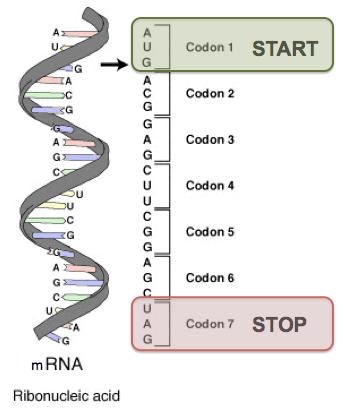 DNARNAcodons.png