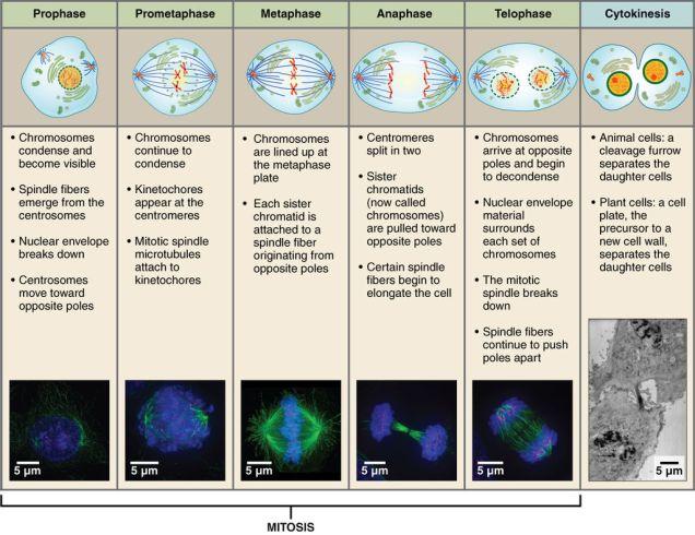 Mitosis_and_Cytokinesis (1)