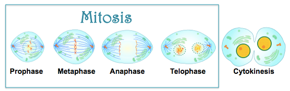 Mitosis  U2013 Easy Peasy All