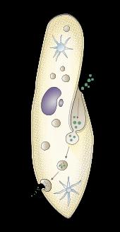 parameciumlab