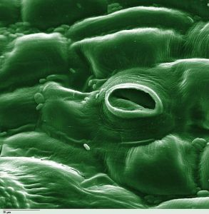 photosynthesisstoma