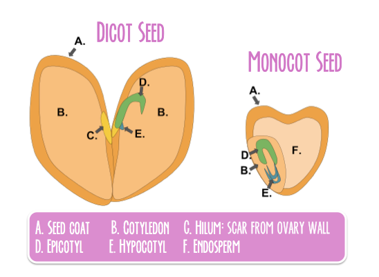 SeedAnatomy.png